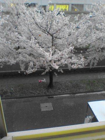 職場の桜 (雑記 )