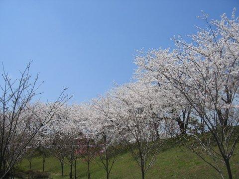 能登、桜巡り (ι )