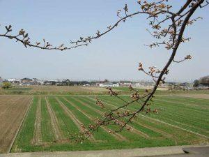 辰口橋の桜は咲いたか?