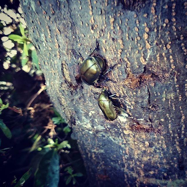 近所の公園でカナブン発見!でも、ツノのついたヤツは、さすがに見あたらないなあ。