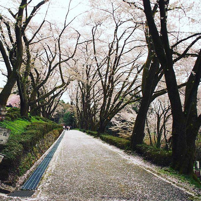 曇り時々サクラ。満開は過ぎたけど、風が吹く度に舞う桜吹雪が、むちゃ見応えあり(^ ^)