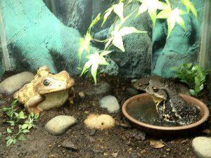 蛙のにらみ合い