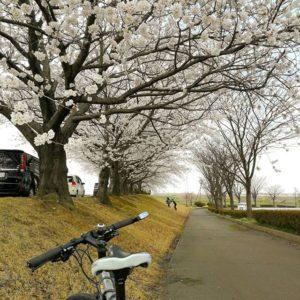 堤防沿いの桜並木に行ってきた